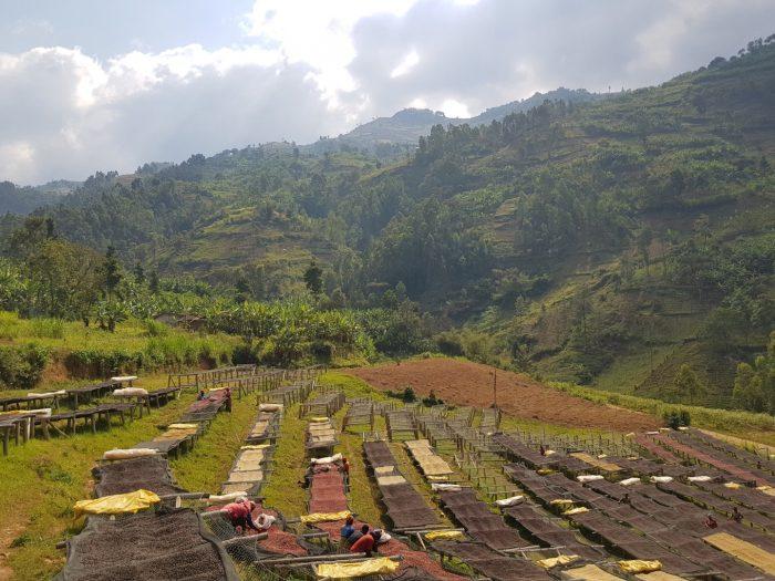 Burundi Shembata Estate Coffee African Drying Beds