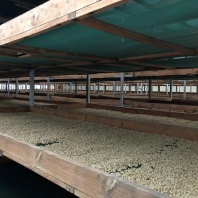 Honduarn Organic Capucas Shade Drying